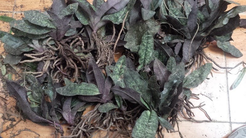 Hài ráp là loại lan hài phân bố khá rộng tại Việt Nam