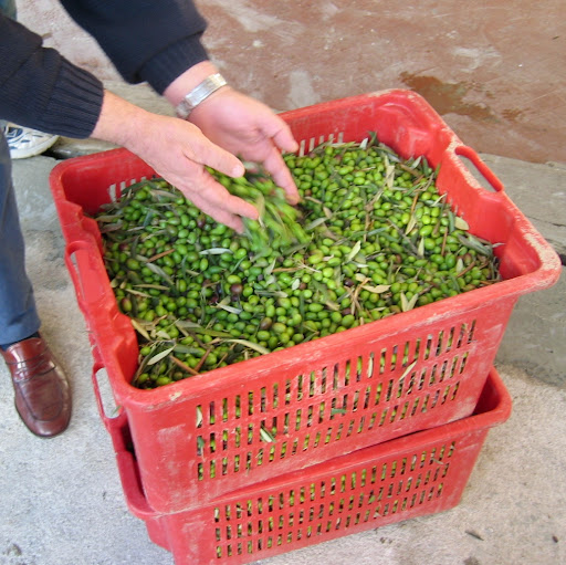freshly picked olives