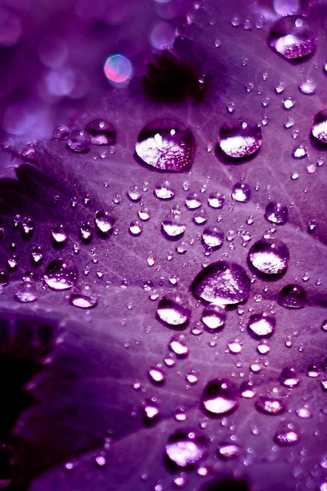 Water Drops On Purple Leaf Picture Wallpaper For iPhone 4