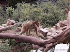 Berberaffe mit Jungtier