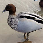 Pato de crin / Foto: Adrian Pingstone -GNU