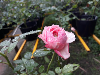 Nụ hoa hồngcắt cành Carey rose