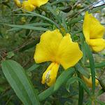 Yellow Pea (Gompholobium) (331745)