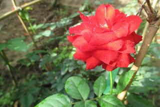 Hoa hồng lửa ở vườn nhà