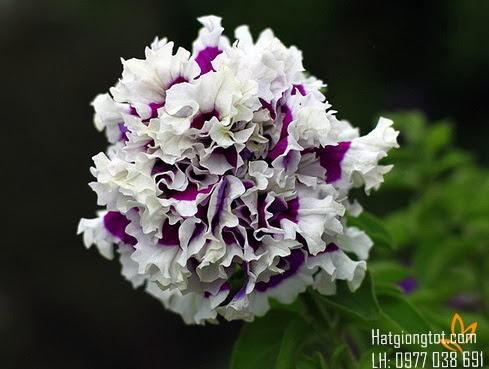 Hoa dạ yến thảo kép