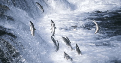 Cá lội ngược dòng cá mới sống, người vượt nghịch cảnh người thành công