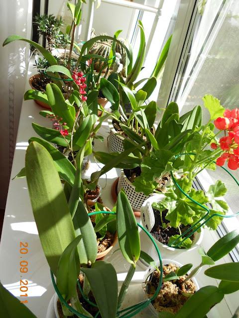 Размещение орхидей - Страница 5 DSCN0887