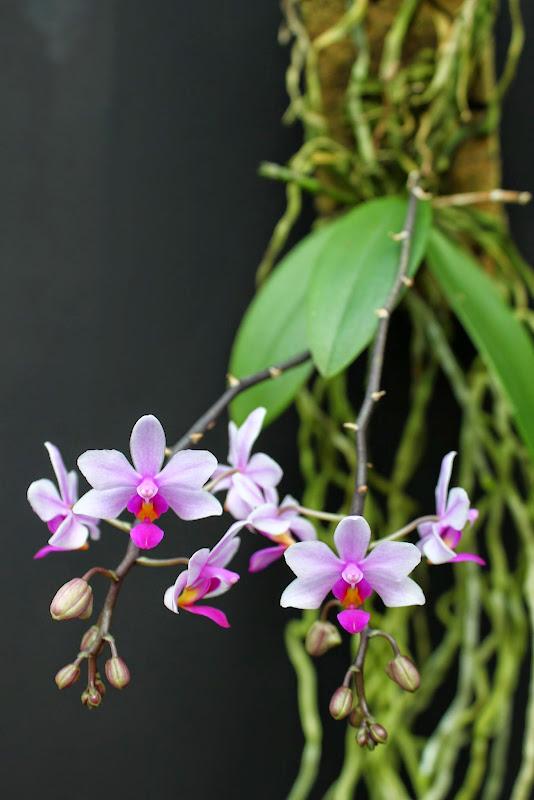 Phalaenopsis Simon Schunter IMG_0903