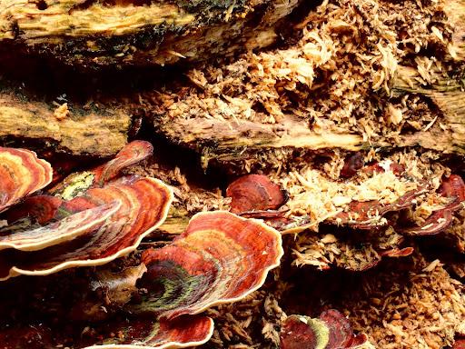 真菌:相鄰小孔菌。真菌將枯木分解成為木屑狀。