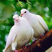 к чему снятся голуби?