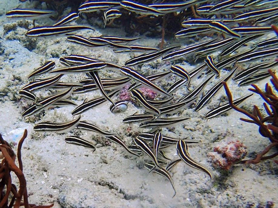 Plotosus lineatus (Coral Catfish), Miniloc Island Resort reef, Palawan, Philippines.
