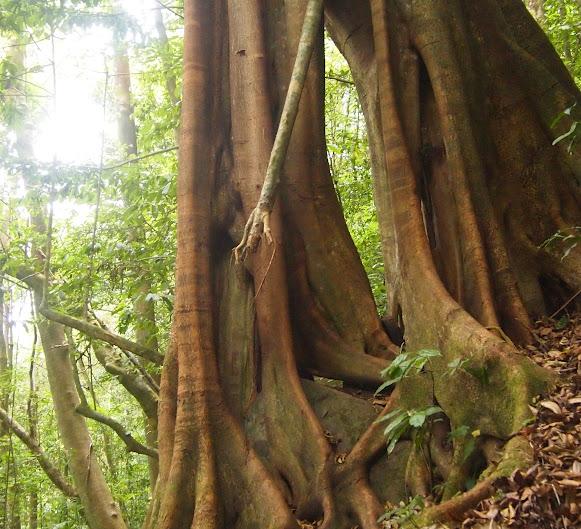 gnarly tree in La Selva Nicaragua
