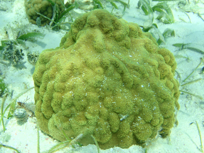 Porites asteroides (Mustard Hill Coral) off Ambergris Caye, Belize.