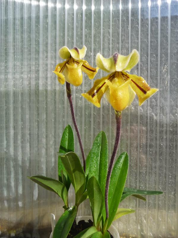 Paphiopedilum druryi P1190142