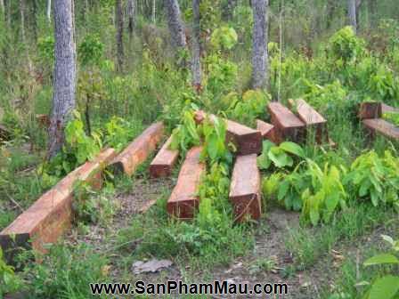 Phát hiện 9 điểm cất giấu gỗ quý trong rừng Bà Nà - Núi Chúa - Xưởng sản xuất đồ gỗ-3