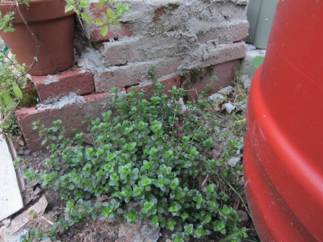 Oregano growing at the bottom marjaram up top in a opt