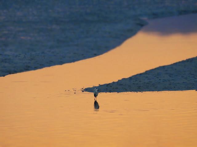 曽根干潟で黄昏るアオサギ-2