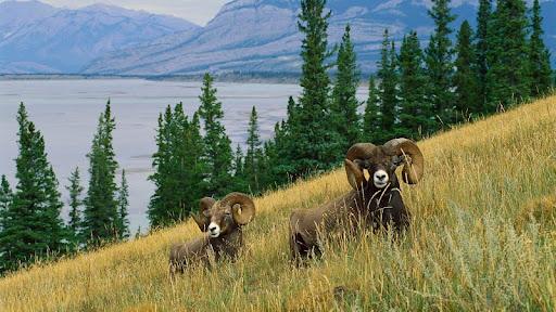 Bighorn Sheep, North America.jpg