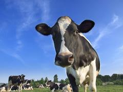 piccola vacca