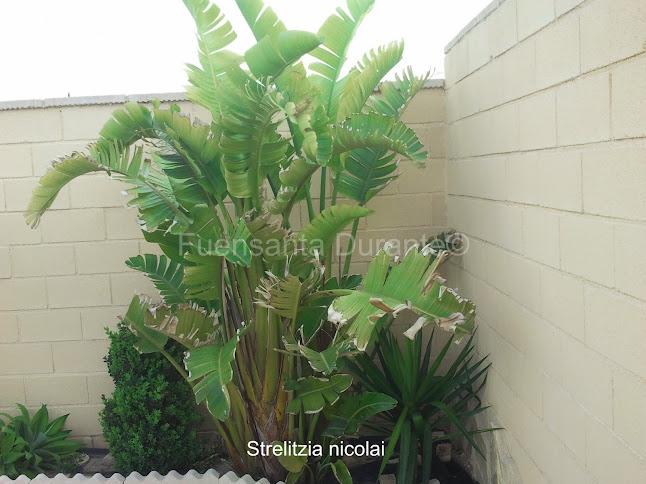 Plantas para jardines mediterr neos strelizia nicolai - Plantas para arriates ...