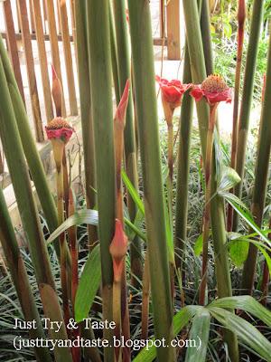 Segudang Manfaat Bunga Kecombrang/Honje/Kantan/Siantan JTT
