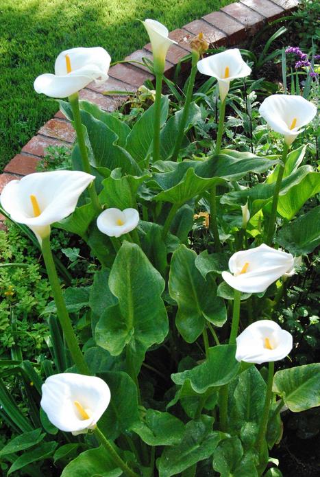 planting the calla lilies bulbs