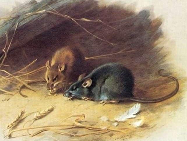 Kết quả hình ảnh cho tranh chuột