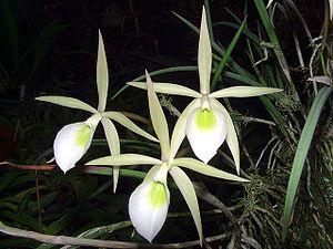 Растения из Тюмени. Краткий обзор 300px-Brassavola_flagellaris_Orchi_03