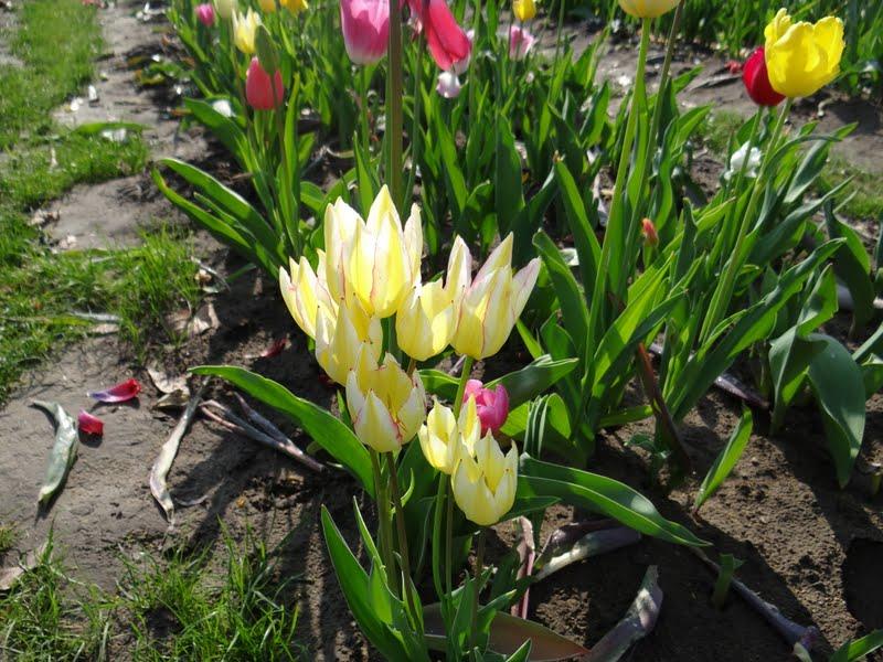 arifs gartenwelt tulpen bitte selber schneiden tulpen. Black Bedroom Furniture Sets. Home Design Ideas