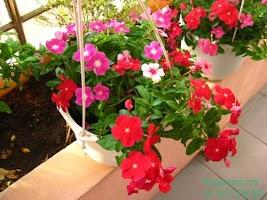 Kỹ thuật chăm sóc hoa Dừa cạn