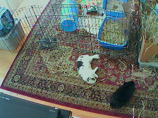 Sleeping bunnies, Foscam FI8910W, 240p.