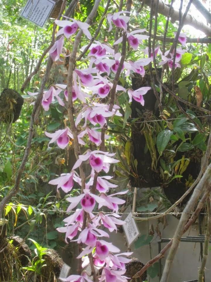 Phi điệp tím thường ra hoa khoảng tháng 3-5 dương lịch nhưng có thể kích sớm để ra hoa tết