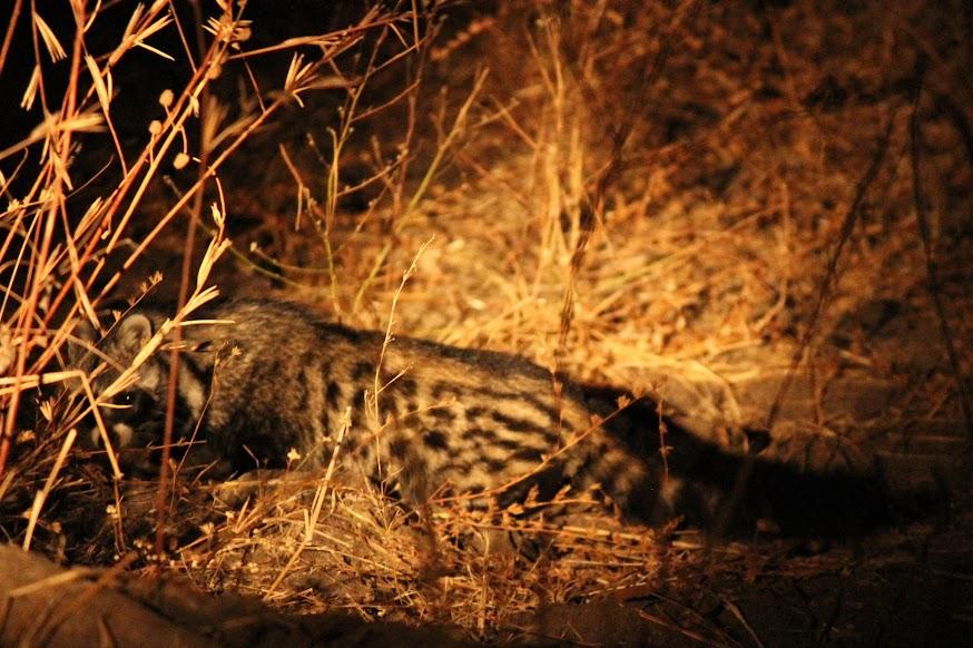 Fazer um SAFARI NOCTURNO no South Luangwa National Park | Zâmbia