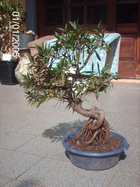 Ficus Nerifolia, Uma raiz de 3 anos... PICT0954