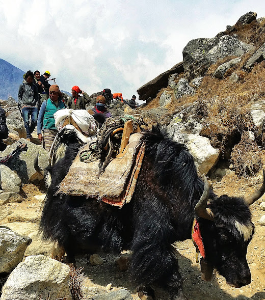 Porters and yak carrying goods to villages along the way to Base Camp.