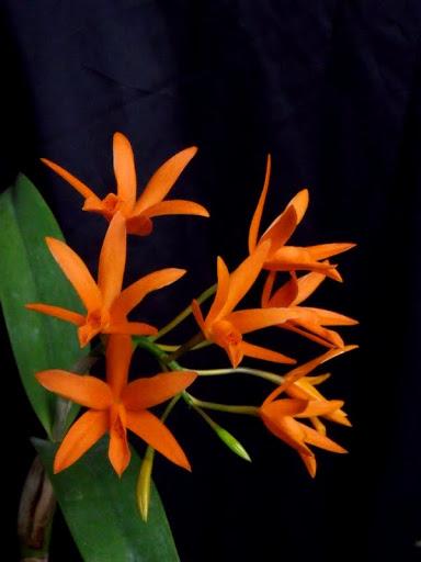 Cattlianthe (Laeliocattleya) Chit Chat 'Tangerine' Lc-chit-chat%2520%25283%2529