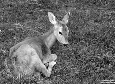animale de la gradina zoologica: un pui de caprioara