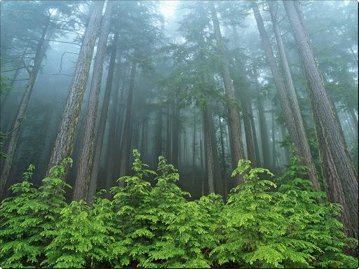 Evergreen Forest, Olympic National Park, Washington.jpg