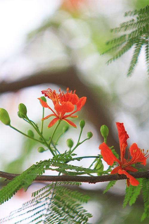 ảnh hoa phượng đẹp