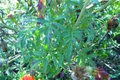 Aksamitka rozpierzchła Tagetes patula