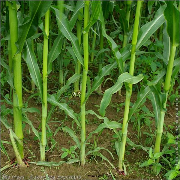 Zea mays - Kukurydza zwyczajna łodygi część odziomkowa