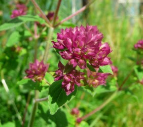 Lebiodka pospolita kwiaty kwiat Origanum vulgare flower