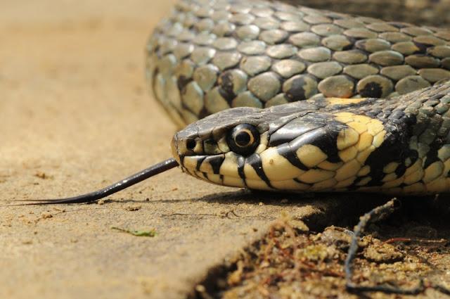 Biesczadzkie węże, Bieszczady, zakroniec, Mariusz Strusiewicz,
