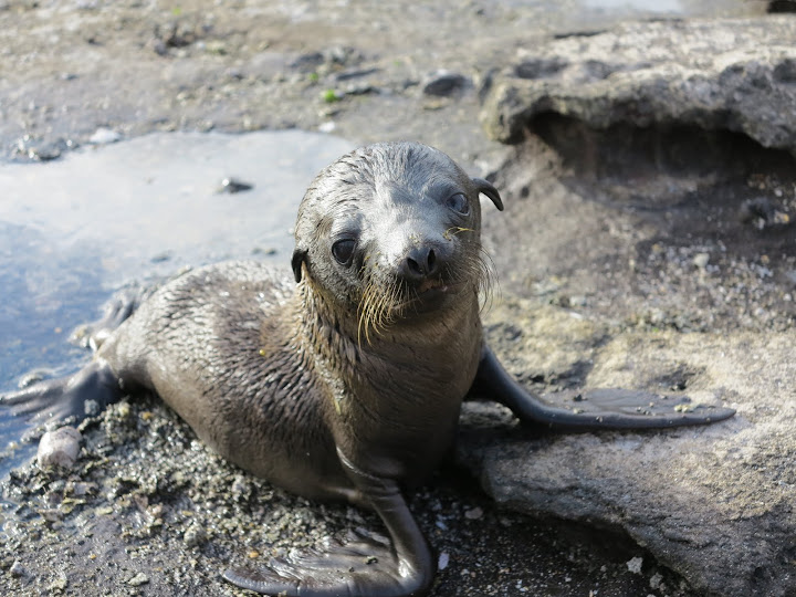 Baby Sea Lion on Santiago Island, Galapagos