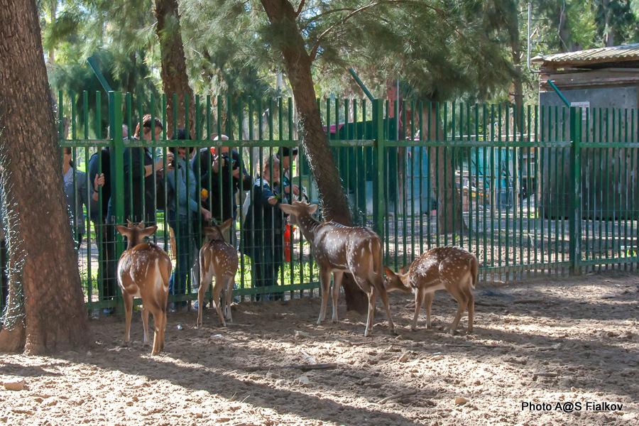 Олени в парке Яркон в Тель Авиве. Гид в Израиле Светлана Фиалкова.
