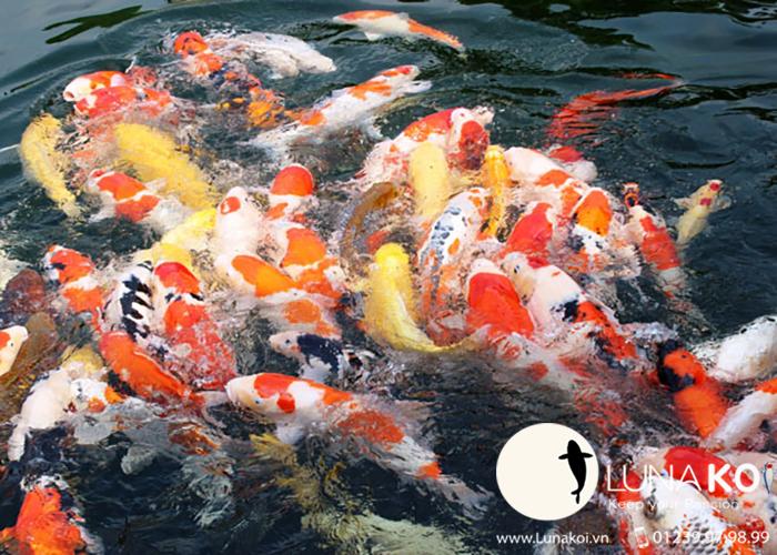 Số lượng cá trong hồ cá Koi