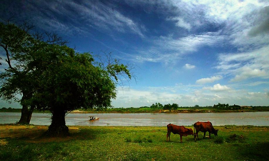 Ảnh sông quê với những con bò