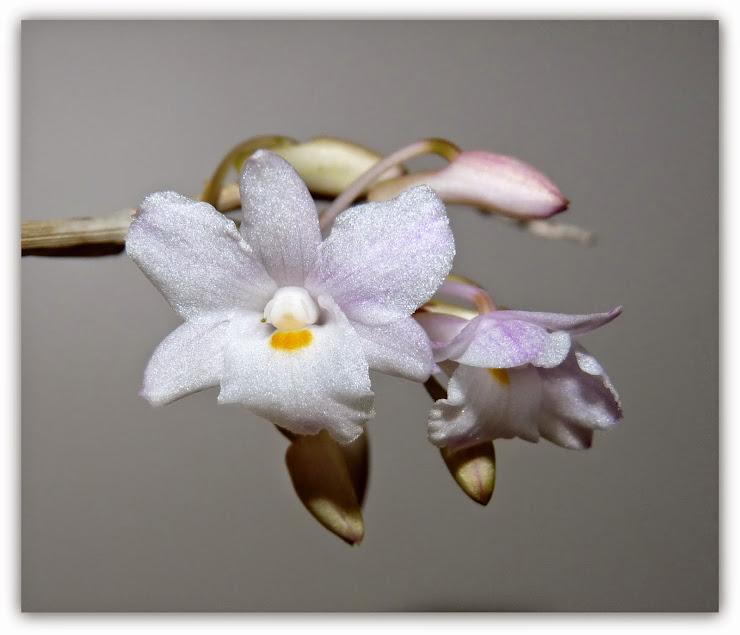 Dendrobium mutabile P1420988