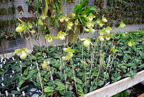 hài ráp đặc biệt có ngồng hoa cao vút so với thân cây