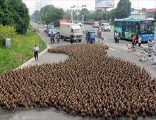 مسيرة من 5 آلاف بطة للتنزه في الصين